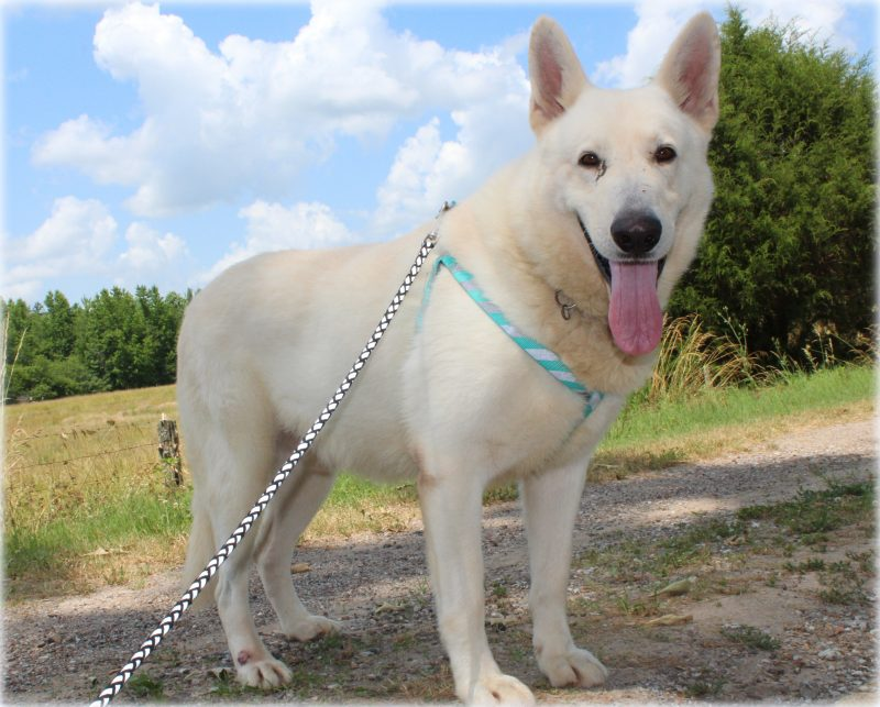 White German Shepherd Dogs Memphis TN