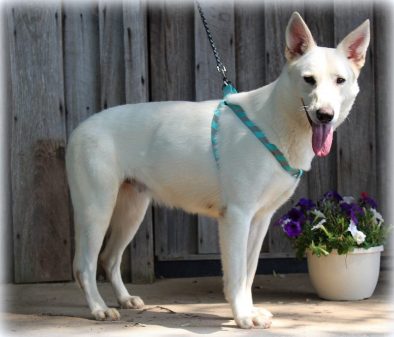 Adult White German Shepherds for Sale