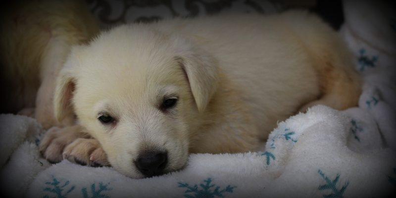 White German Shepherd Puppies - Memphis TN Breeder | Rolling