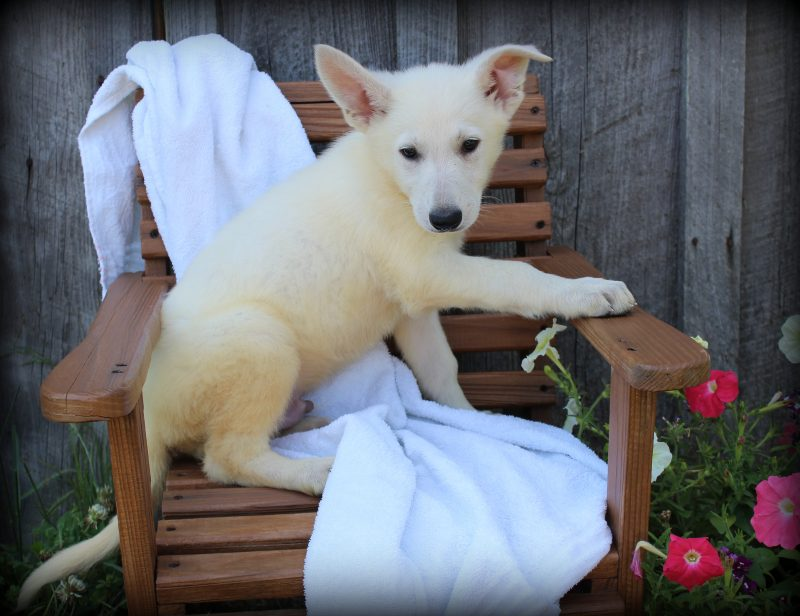 White German Shepherd Puppies for Sale