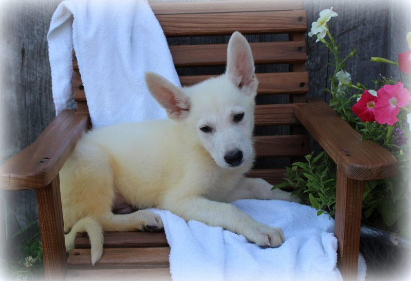 Available White German Shepherd Puppies for Sale